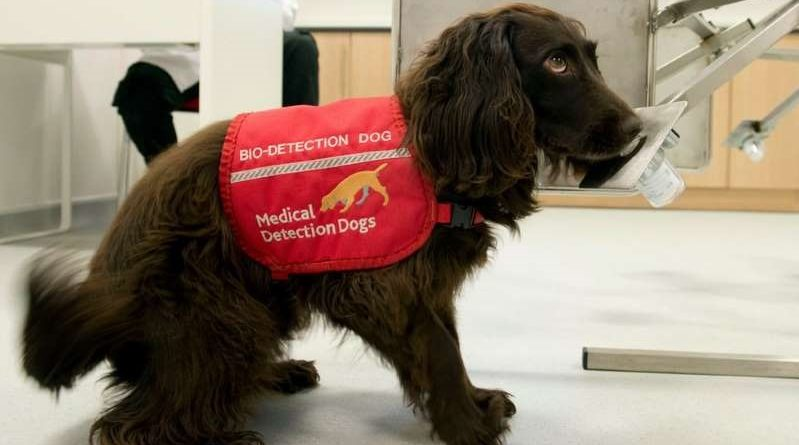 Cães farejadores serão treinados para detectar coronavírus
