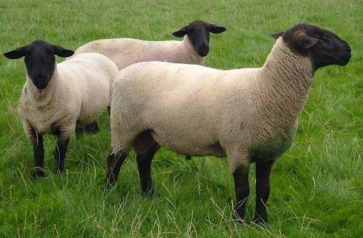 Bolsonaro planeja enviar 1,2 milhão de ovinos por ano à Arábia Saudita