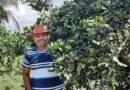 Comunidade rural de Rio Real comemora colheita de laranja com aumento de 70% na produção